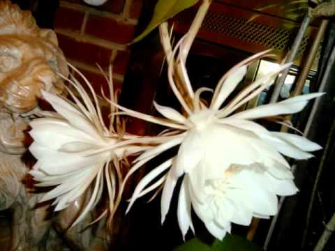 Epiphyllum- Hoa quỳnh