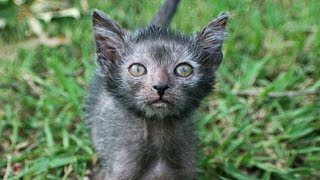Werewolf Cat Is It Wrong To Breed Pets Like This?