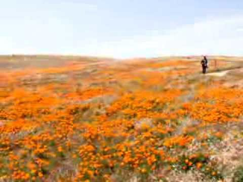 Antelope Valley Poppy Fields 2010
