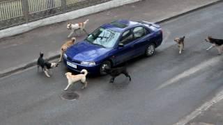 Una jauría de perros ataca un coche en movimiento