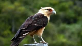 Gavilan Ataca Aguila Y