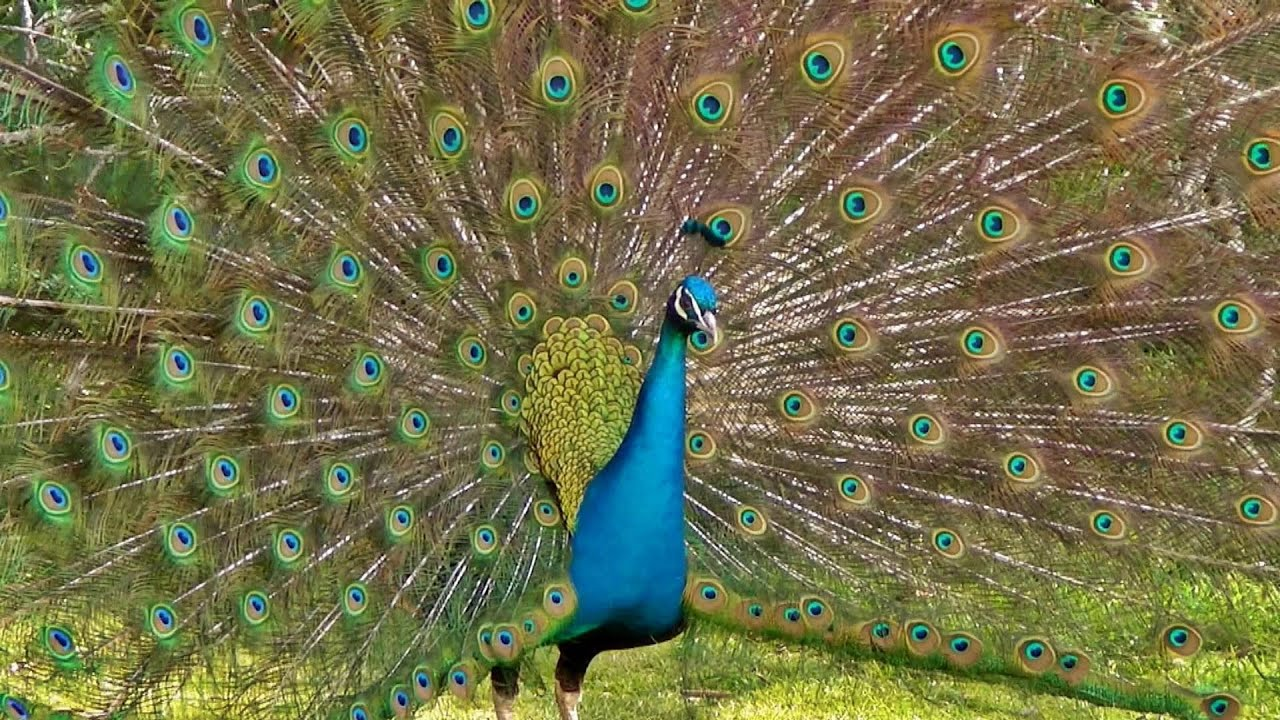 The most magnificent peacock dance display ever peacocks opening feathers hd bird sound - Beautiful peacock feather ...