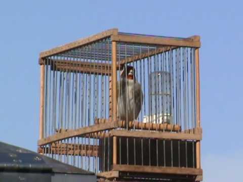 miljenkozuanic - Himalayan goldfinch MZ2009 01