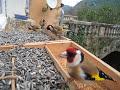 Magnifique Vidéo De Chardonneret élégant En Liberté European Goldfinch Carduelis Carduelis