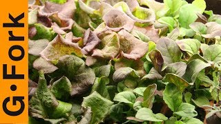 Grow Lettuce, Mesclun, & Salad Greens How To : GardenFork