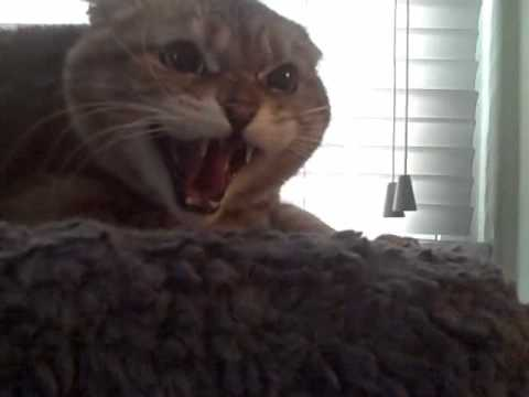 Extremely Angry cat