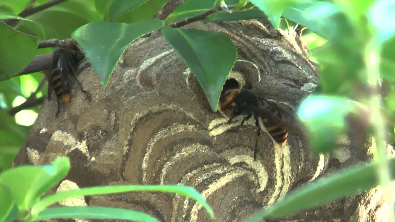 Japanese Hornet Nest (スズメバチ) - YouTube