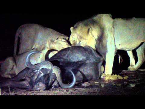 Leones devorando un búfalo recién cazado, en P.N. Kruger, Sudáfrica. Durante la noche.