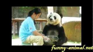 Panda Basi Eating, Cute 熊猫巴斯吃饭饭 2012