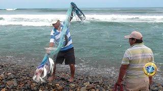 Pesca con atarraya en el mar - Lisas grandes