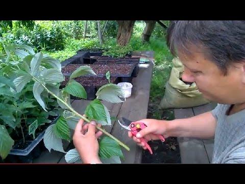 Черенкование малины 5 сортов (эксперимент№2)