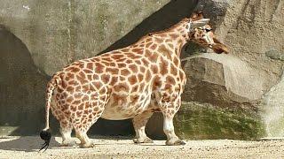 Animales con enanismo