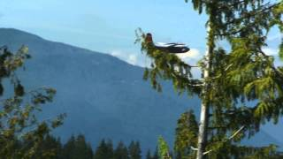 [Fire Fighters in Planes and Helicopters in Powell River figh...]