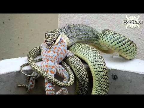 งู กับ ตุ๊กแก [ตอน 2] : Snakes and geckos.