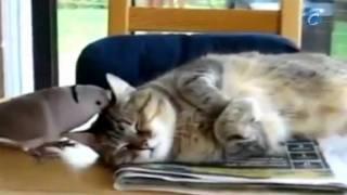 Paloma fastidiando a un gato