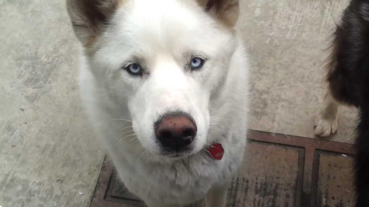 Wolf Dog Mix With Blue Eyes