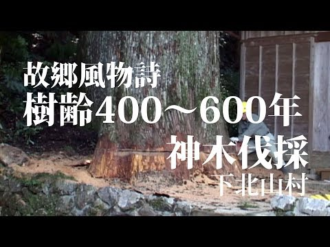 樹齢400年の巨木倒伐 Big tree felling of 400 year old Japan cedar