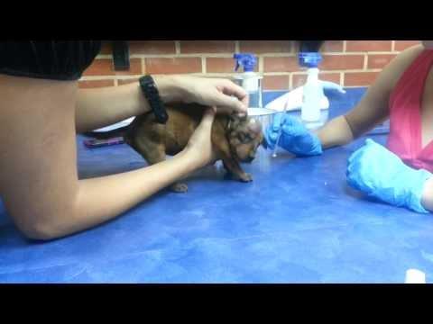 Cachorros Rescatados con abscesos, por secuelas de los gusanos!