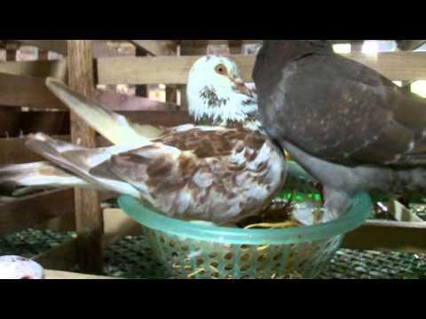 Mô hình nuôi chim bồ câu pháp hiệu quả ở vĩnh phúc.