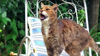 Why Do Cats Miaow? | Cats Uncovered | BBC