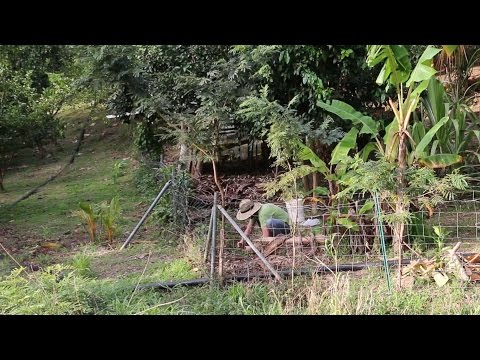Planting Yams on a Fence