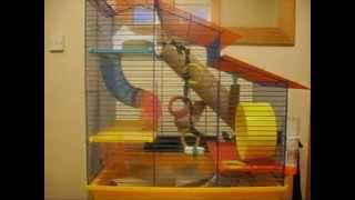 Hamster plays tune on cage bars with his claws