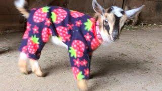 Pijamalı yavru keçiler