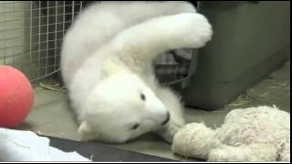 Kali the Orphaned Polar Bear Cub