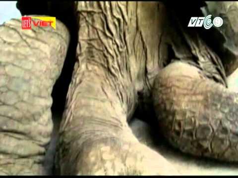Câu Chuyện Thế Giới 2012 06 27 Rùa khổng lồ Galapagos qua đời
