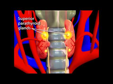 Thyroid Animation
