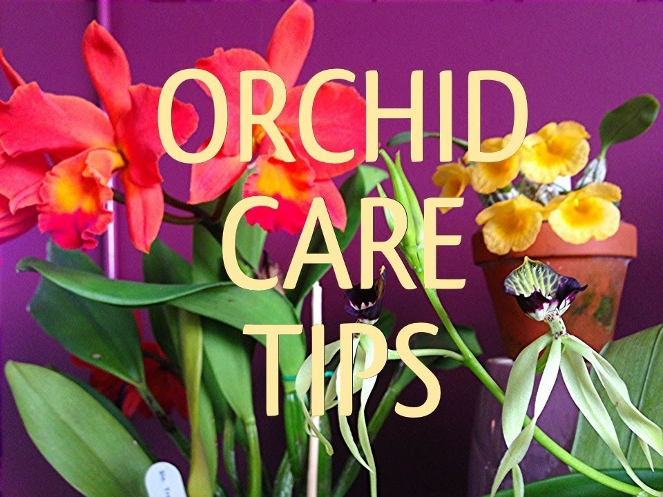 Quot How To Care For Orchids Quot Orchid Care Tips Cattleya