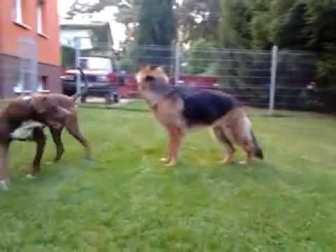 Pit bull Red Nose fighting German shepherd - YouTube