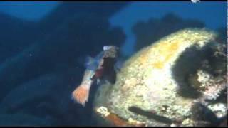 Mandarin Fishes Having Sex!