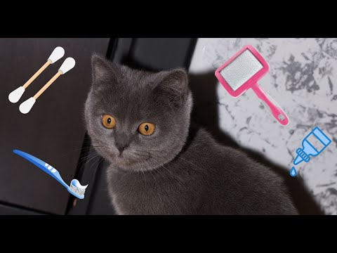 Coco grooming reaction / cat brush teeth / cat care / Scottish straight / fun grooming / funny cat