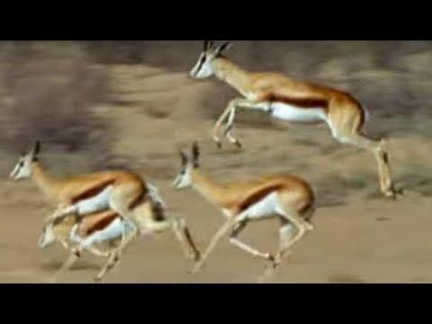 Springboks antelopes vs cheetahs - Wild Africa - BBC