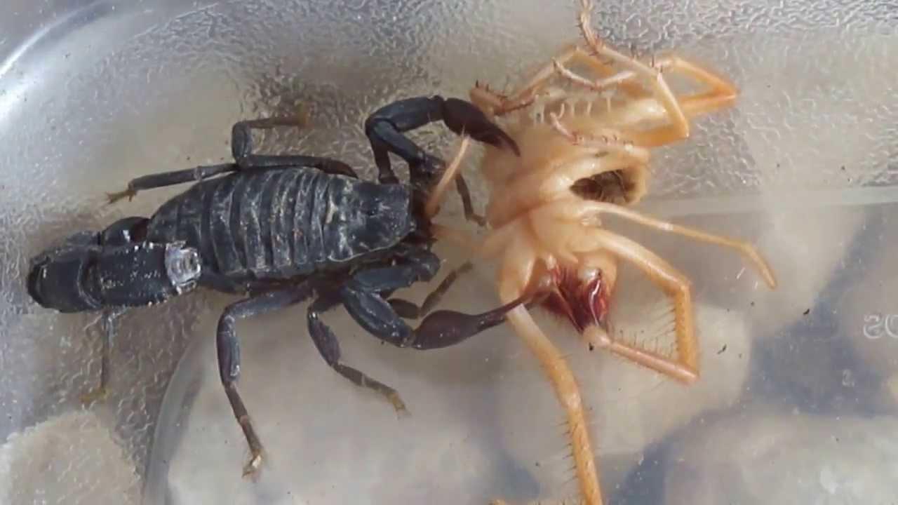 Camel spider vs black widow - photo#19