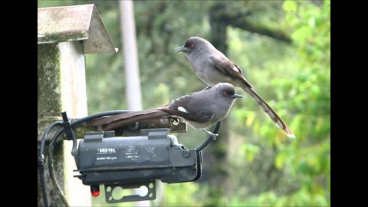 Burung-murai-besi-murai-air-air-mancur-long-tailed-sibia-heterophasia