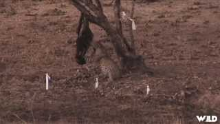 Crazy Leopard Hunt in Africa