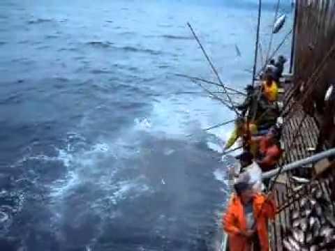 سمك التونه غرب المحيط الاطلنطي