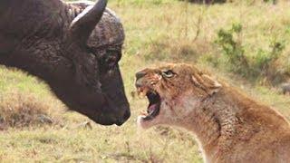 Lion Vs Buffalo Fight Buffalo Surviving