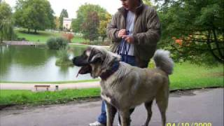 Kangal Vs Pitbull New Fight 09