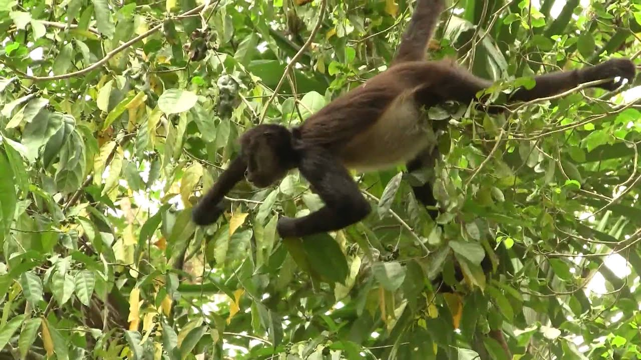 endangered species the panamanian spider monkey Panama's impressive array of wildlife is probably the top draw for visitors to the   and capuchins along with howler, squirrel and spider monkeys  to the over 85  types of prey they hunt to survive, they are all endangered.