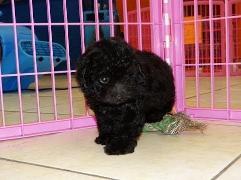 Toy poodle puppies for sale in addition Hooray im adopted additionally Staff in addition Details furthermore Miniature Schnauzer. on poodle rescue memphis
