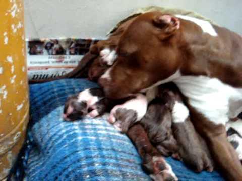 pitbull giving birth 1/18/2010