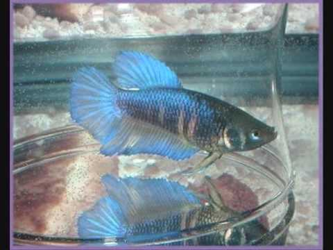 Learn betta fish breeding or mating youtube for Betta fish mating