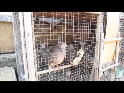Du lịch Bali, Indonesia- Chợ chim Bali xem cu gáy