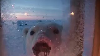 Attenborough: Polar Bear Encounter