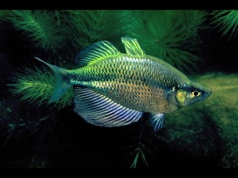 New rainbowfish emerald madagascar dwarf neon youtube for Dwarf rainbow fish