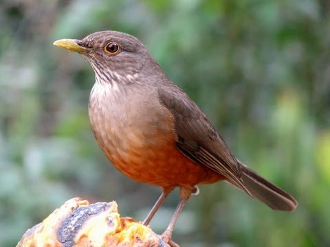 Pássaros Silvestres BR (Brazilian Birds) parte 5: Sabiá Una, Sabiá Laranjeira, Sabiá Preto