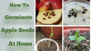 Apple Seeds Germination at Home -Step by Step Easy Process